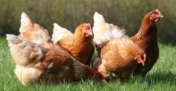Come-allevare-le-galline-allaperto